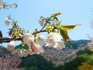 吉野山 桜の花