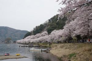 海津大崎 桜 ボート
