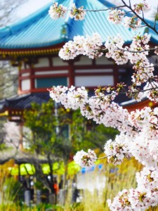 上野 弁天堂 桜