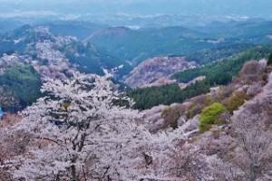 吉野山 桜 満開
