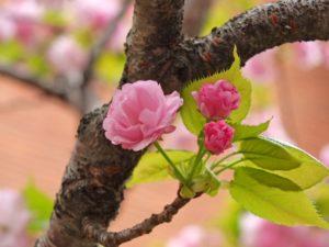 桜の通り抜け 桜