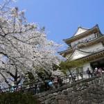小田原城の桜2019の見頃と開花!ライトアップやお花見の場所は?