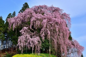 三春の滝桜 満開