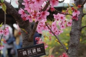 上野恩賜公園 横浜緋桜