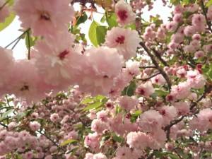 兼六園 菊桜