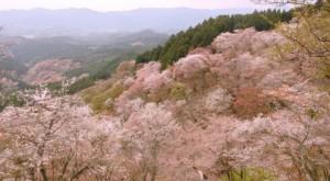 吉野山 中千本 満開の桜
