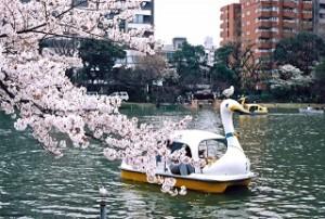 上野公園 桜 不忍池 アヒルボート