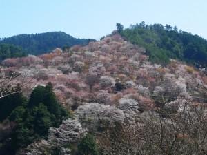 吉野山 一目千本 満開の桜