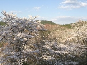吉野山 上千本 満開の桜