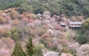 吉野山 下千本 満開の桜