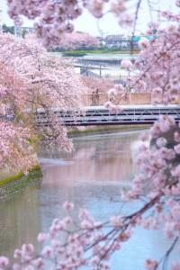 大岡川 桜 プロムナード