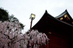 上野公園 桜 上野東照宮