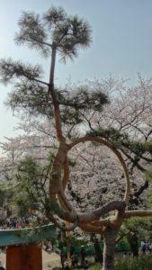 清水観音堂 月の松 桜