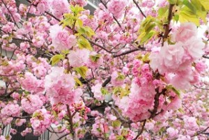 大阪造幣局 八重桜