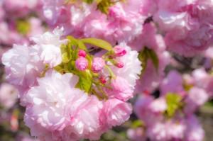 八重桜 花 満開