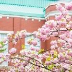 大阪造幣局桜の通り抜け2020の見頃と開花!ライトアップや種類は?