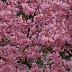 上野公園の桜2018の開花予想と状況!満開の時期や見頃は?