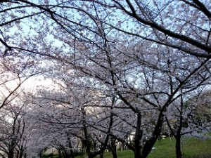 市民の森 桜並木