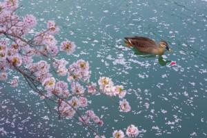 川 桜 鴨