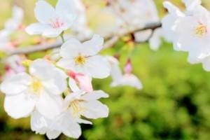 桜 花 白