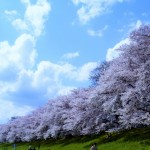 淀川河川公園背割堤地区の桜2018!開花状況とアクセス方法。