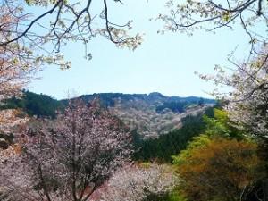 吉野山 桜景色