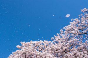 桜 青空 花びら