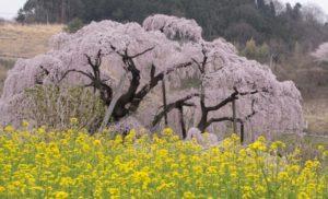 三春滝桜 菜の花