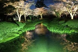 兼六園 桜 ライトアップ