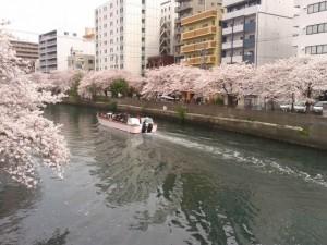 大岡川 桜 花見船