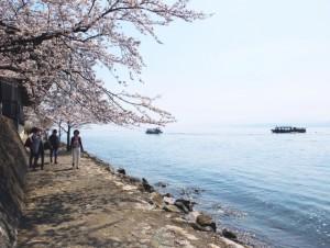 海津大崎 桜 道
