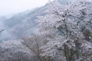 吉野山 桜