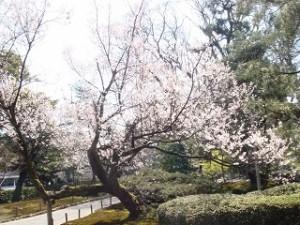 兼六園 桜と庭園