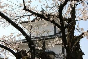 兼六園 桜
