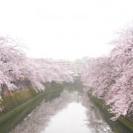 大岡川の桜2017の開花状況。ライトアップやお花見の屋台は?