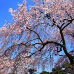 兼六園の桜2017の見頃と開花予想。ライトアップや種類は?