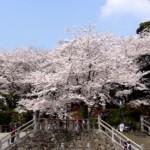 飛鳥山公園の桜2017。見頃と開花状況。ライトアップや混雑は?