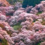 一目千本!吉野山の桜。2017年の見頃と開花状況。駐車場は?