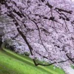 淀川河川公園背割堤地区の桜2017。開花状況とアクセス方法。