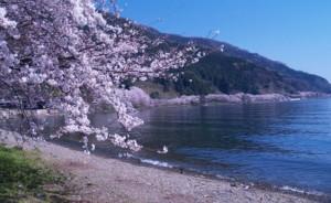 海津大崎 桜