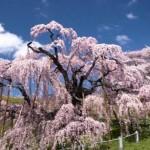 三春滝桜2017の開花状況と見頃。ライトアップ期間やアクセスは?