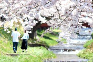 観音寺 桜