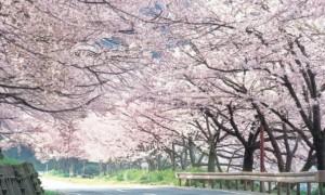 海津大崎 桜 沿道