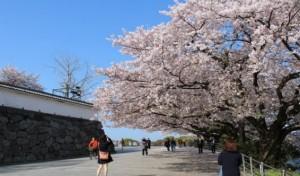 舞鶴公園 桜