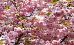 八重桜 花