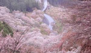 吉野桜 一目千本