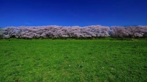 淀川河川公園背割堤地区 青空と桜並木