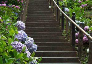 階段 あじさい