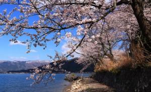 海津大崎 桜の木