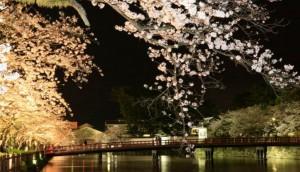 小田原城 桜 ライトアップ